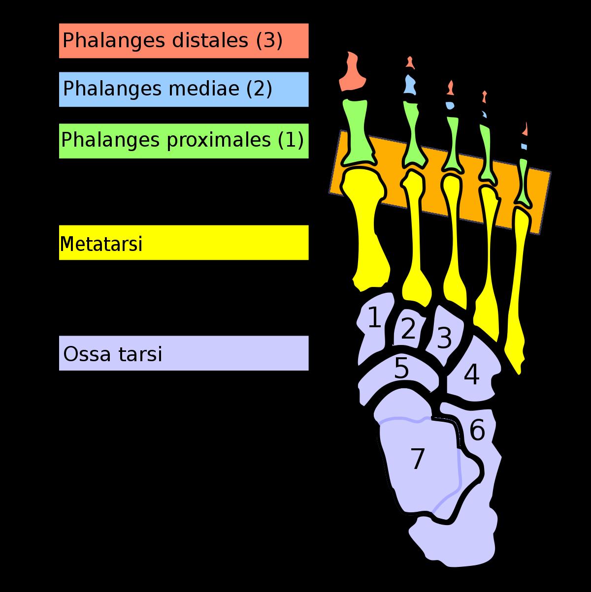 metatarsalis arthrosis és kezelés)