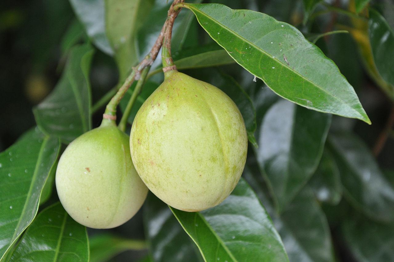 Növények/Növények gyógyhatása/K/Kukorica – Wikikönyvek