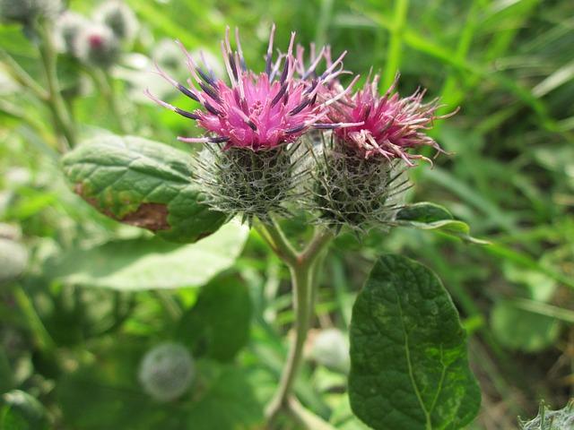 Bojtorján: a gyógyító és szépítő gyógynövény