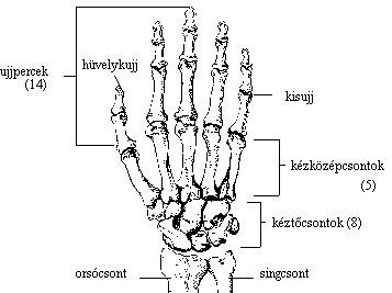 a hüvelykujj ízülete