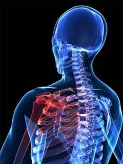 Anatómiai Vállízület életnagyságban - Elena Webshop