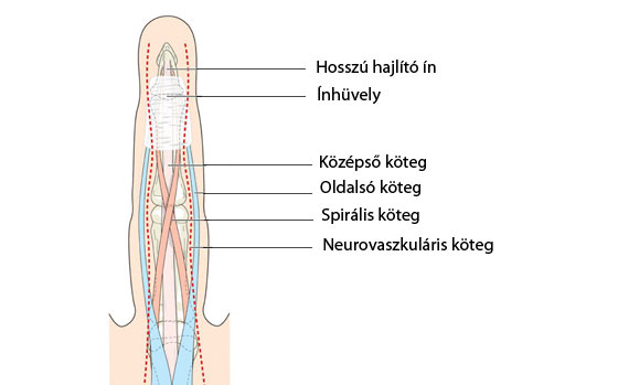 ujjak ízületei