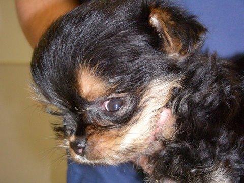 A kistestű kutyákra jellemző betegségek, egészségügyi bántalmak